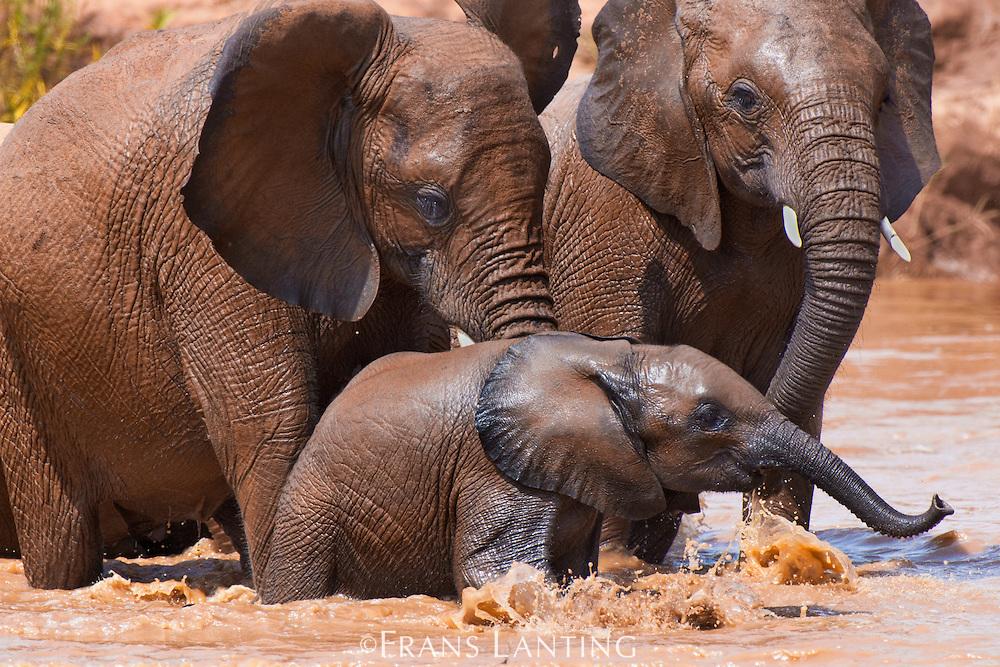 Elephants in river, Loxodonta africana, Samburu National Reserve, Kenya