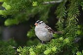Emberizine Sparrows & Allies