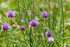 Bieslook, Allium schoenoprasum