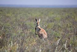 A Red Kangaroo (Macropus rufus) on Mandora Marsh, south of Broome.
