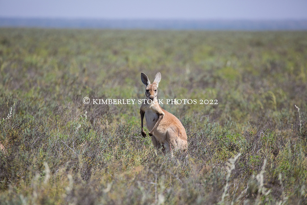A Red Kangaroo (Macropus rufus) on Mandora Marsh, south of Broome.