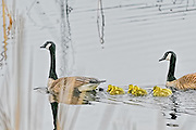 Canada goose family swimming with six goslings
