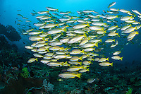 Two species of Snapper school together on a healthy reef slope<br /> <br /> Shot in Indonesia