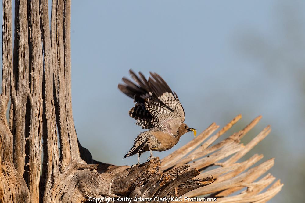 Gila woodpecker; Melanerpes uropygialis; flying from a saguaro cactus skeleton, Sonoran Desert; Southern; Summer, Arizona;