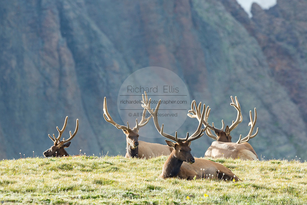 A herd of North American elk along a mountain slope in the Rocky Mountain National Park in Estes Park, Colorado.