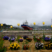 May 29, 2013 - Kesenuma, Japan: Newly planted flowers grow in a destroyed residential neighbourhood of Kesennuma. In the background, a large vessel, washed away by the 2011 tsunami that struck over the coastal areas of Japan, remains grounded amid the flattened area. (Paulo Nunes dos Santos)