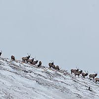 larg herd of young bull elk feeds on open snowy hillside