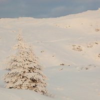 A tree in white at Ulriken