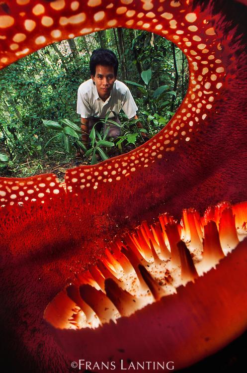 Botanist Jamili Nais looking at Rafflesia flower, Rafflesia keithii, Mt Kinabalu National Park, Sabah, Borneo
