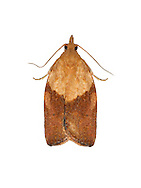 49.039 (0998)<br /> Light Brown Apple Moth - Epiphyas postvittana