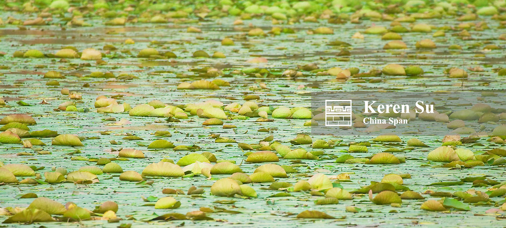 A pond of lily pads, Rohet, Rajasthan, India