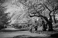Fitness under the cherry blossoms in Central Park.