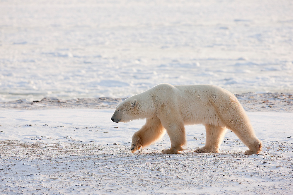 A large male polar bear patrols the ice and snow landscape in the high Arctic in Canada