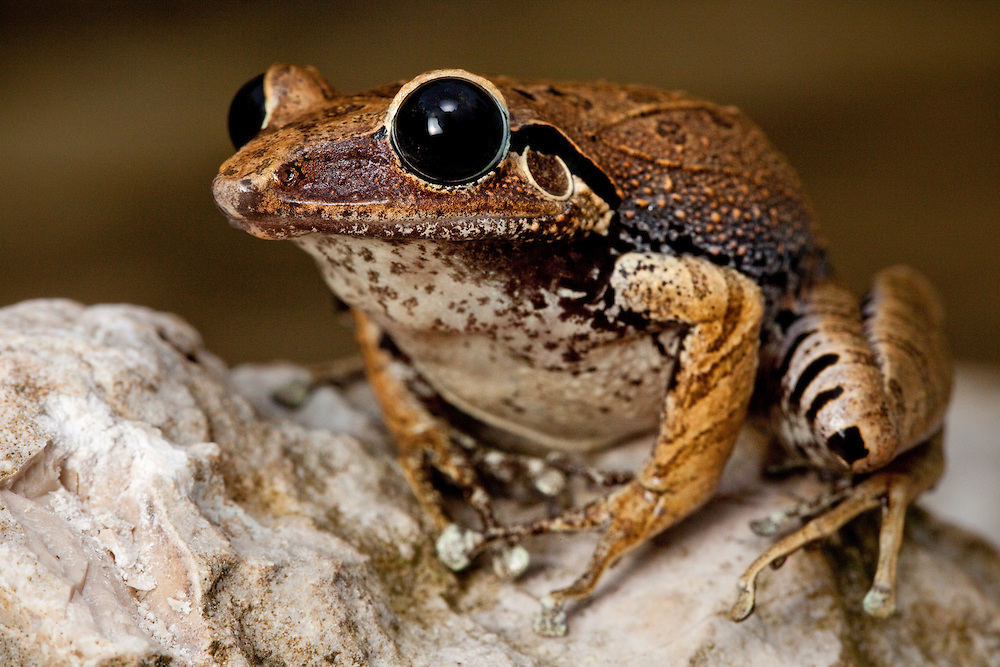 Macaya Burrowing Frog, Eleutherodactylus parapelates, a critically endangered species from the Massif de la Hotte. Last seen 1996.