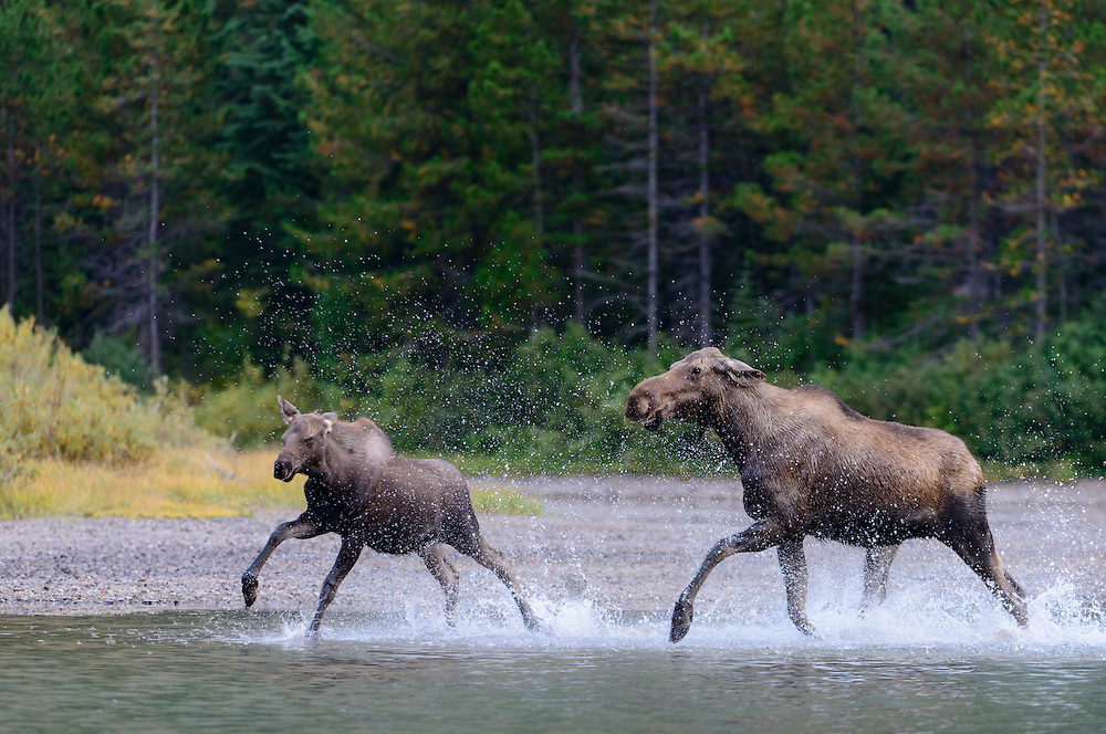 A cow moose (Alces alces) chases her calf away during the late Summer rutting season, Montana