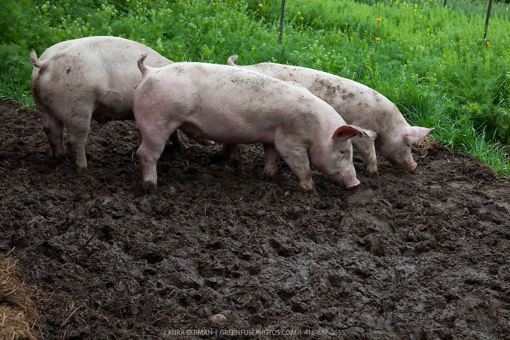 Three little pigs exploring their mud wallow.