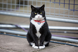 © Licensed to London News Pictures. 08/06/2017. London, UK. PALMERSTON, the cat belonging to the Foreign and Commonwealth Office, on Downing Street as Britain heads to the polls to elect a new Prime Minister in the 2017 General Election. Photo credit: Rob Pinney/LNP