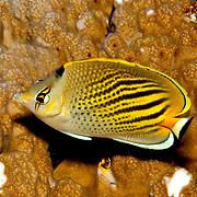 Dot & Dash Butterflyfish inhabit reefs. Picture taken Fiji.