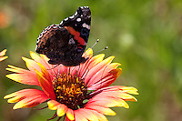 Indian Blanket (Gaillardia pulchella), San Saba County, Texas