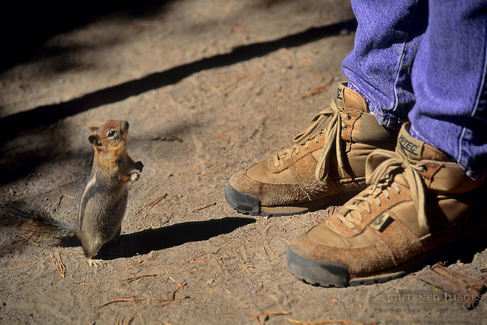 I can stand, too; Chipmunk standing next to person's feet & shoes, Crater Lake National Park, Oregon