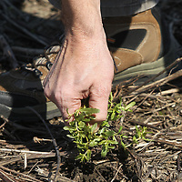 Charlie Stokes, an Agronomist for Northeast Mississippi with the MSU Extension Servies pulls up a dying weed from an old cotton field that will see corn planted on it for the upcoming season.