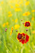 Red and yellow Zinnia (Asteraceae) flowers in a garden. WATERMARKS WILL NOT APPEAR ON PRINTS OR LICENSED IMAGES.