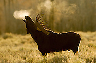 A moose in the early morning light of Grand Teton National Park in Jackson, WY. ©2006 Brett Wilhelm