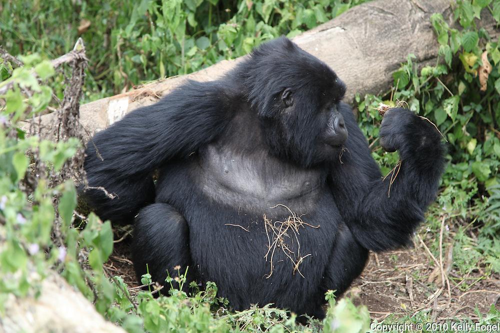 Gorillas, Volcanoes National Park, Rwanda 2010 african wildlife