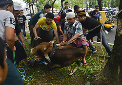 September 1, 2017 - Selayang, Kuala Lumpur, Malaysia - Rohingya refugee prepare to slaughter a cow during the Eid al-Adha.  Muslims around the world celebrate Eid al-Adha by slaughtering camels, sheep, goats and cows to commemorate Prophet Abraham's. (Credit Image: © Kepy via ZUMA Wire)