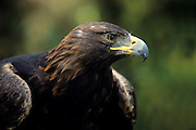 A golden eagle portrait (Aquila chrysaetos).