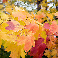 Colorful image of maple leaves in the fall