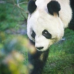 Tian Tian at Edinburgh Zoo