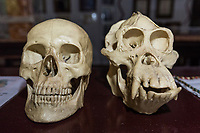 Side-by-side comparison of human and orangutan skulls in the information center at Camp Leakey, in Tanjung Puting National Park, Borneo, Indonesia.