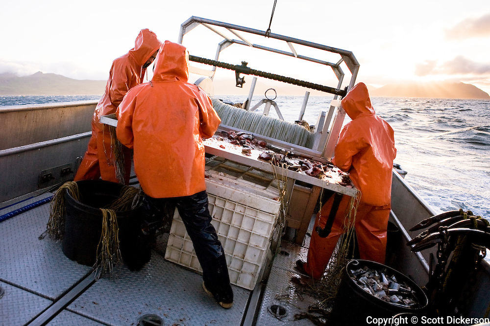 Commercial fishing deckhands on the deck of the F/V Lucky Dove  busy at work baiting halibut longline hooks on a stormy day in the Aleutian Islands, Alaska.