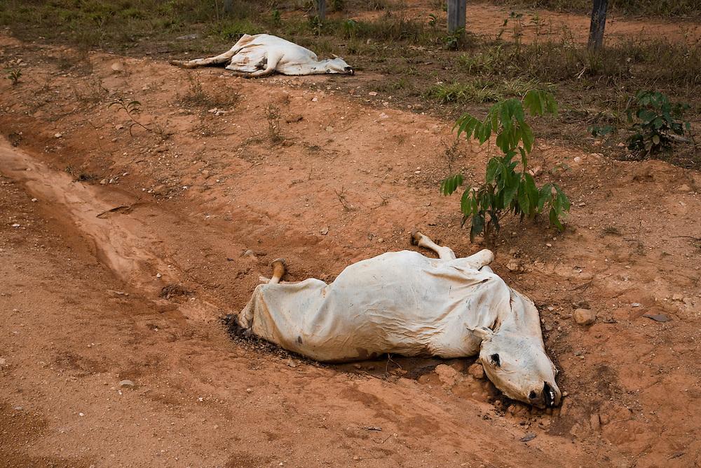 Para State, Brazil. September 1st 2007.  BR 163  Novo Progresso municipality(Brazilian Amazon). Dead cattle.