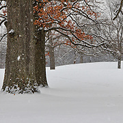 &quot;As the Snow Falls&quot;<br /> <br /> A beautiful snowy landscape with wonderful huge snow laden Oak trees!! <br /> <br /> Winter in Michigan by Rachel Cohen Winter in Michigan!<br /> <br /> Beautiful winter scenes, winter wonderlands, and lone trees in winter!<br /> <br /> Images in color, B&amp;W, and using selective color.<br /> <br /> If you love winter, snow, trees, rolling hills, and lone trees then you'll find a lovely selection!! <br /> <br /> Winter in Michigan by Rachel Cohen