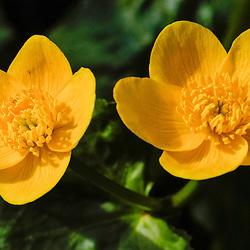 Ranunculaceae, Ranonkelfamilie