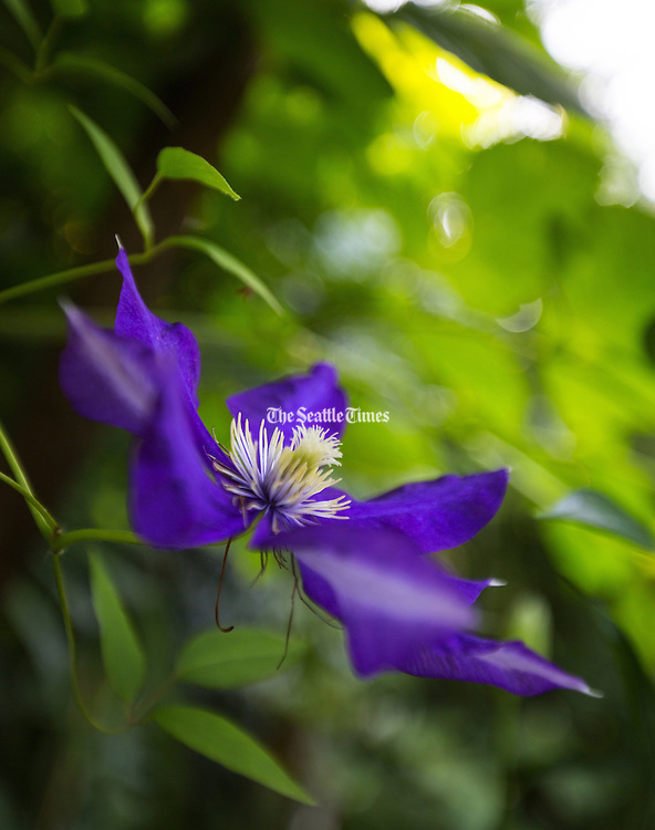 Clematis x jackmanii in full June bloom. (Mike Siegel/The Seattle Times)