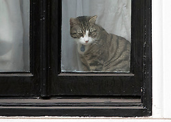 © Licensed to London News Pictures. 14/11/2016. London, UK. A cat belonging too Julian Assange sits at the window of the Ecuadorian Embassy in London before Swedish officials arrive to interview WikiLeaks editor-in-chief, Julian Assange. Assange, who has been living at the embassy for over four years, is wanted for questioning over accusations of rape in Stockholm in 2010.  Photo credit: Ben Cawthra/LNP