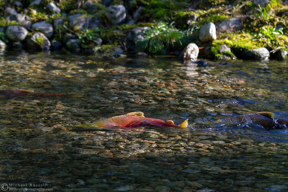 Sockeye Salmon (Oncorhynchus nerka) swimming upstream to spawn in the Weaver Creek Spawning Channel near Agassiz, British Columbia, Canada.