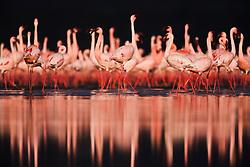 A flock of Lesser flamingos (Phoenicopterus ruber ) walking through and reflected in the water of Lake Nakuru, Lake Nakuru, Kenya