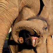 CHIANG MAI - FEB 27 2006: A curious baby elephant seeks shelter with its mother at Elephant Nature Park in Northern Thailand. Females usually have one calf after a gestation period of 18-22 months and give birth every three to four years. The calves weigh about 200 pounds (100kg) at birth. Asian elephants - strong, social, and intelligent - have been trained for thousands of years for use in transportation, labor, and ritual. In Thailand, Elephants are of immense cultural importance, but their numbers are shockingly plummeting. In 1905, there were over 100,000 elephants in this land - now they are estimated at less than 5,000, of which barely half are in the wild. (Photo by Logan Mock-Bunting)