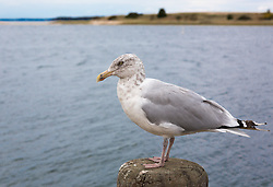 seagull on a wooden post by the bay at the Northwest Harbor in East Hampton, NY
