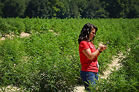 Extension agent takes a photo of a hemp plant during a tour of a Broadway Hemp farm.