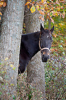 Picture of a horse between two trees in the fall.