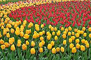 Garden pattern of tulips, Keukenhof Gardens; Lisse; Netherlands, Holland