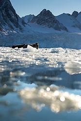 Walrus (Odobenus rosmarus) in Svalbard, Norway