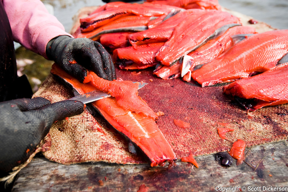 Fresh sockeye salmon caught for subsistence from the Newhalen River being prepared to dry and smoke by native Alaskans in the village of iliamna,  Bristol Bay, Alaska.