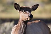 Cow Elk, Montana.