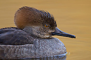 A female hooded merganser swims in glassy still water